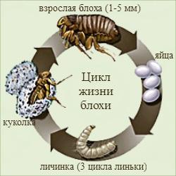 цикл жизни блохи
