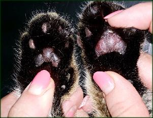 пододермит у кошки